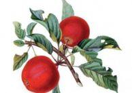 Leki z bożej apteki: jabłko