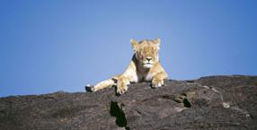 Afryka, lwy, Park Narodowy Massai Mara, Masajowie