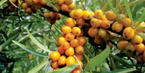 rośliny, owoce, jarzębina, rokitnik, jemioła, owoce zimowe