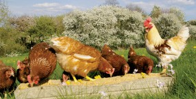 zwierzęta, jajka, hodowla, kury