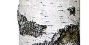 drzewa, Łukasz Łuczaj, zielnik, brzoza, kora