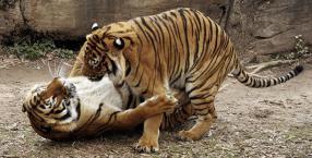 zwierzęta, seks, natura, biologia zwierząt, miłość, Tygrys, delfin, żuk, gody, samiec, samica, zaloty