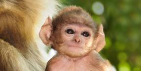 zwierzęta, Dorota Sumińska, Małpa, małpy, Borneo, langur, orangutan, nosal