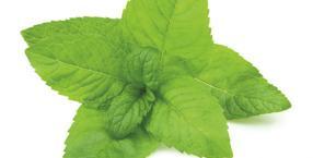 natura, mięta, mentol, ekologia, liście, eko-wybór, ochłodzenie, menthe