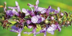 zielnik, kuchnia, Czyściec błotny, Stachys palustris, crosne, choroga, bulwy