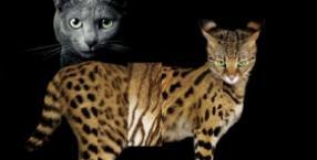 zwierzęta, Lew, Tygrys, kot, chausie, savannah, kot bengalski, lygrys, tyglew, krzyżówka, dzikie koty