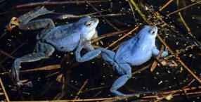 Żaby wystrojone do ślubu