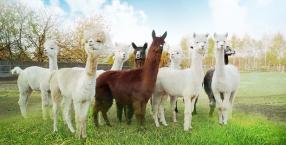 zwierzęta, hodowla, moje miejsce na ziemi, magiczny świat zwierząt, alpaka, alpaki