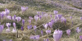 zapowiedź wiosny-krokusy