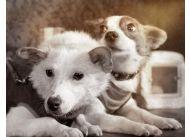 Pierwszymi psami, które przeżyły lot na orbicie okołoziemskiej, były Biełka i Striełka. Zostały wystrzelone w kosmos w sierpniu 1960 roku, a ich lot trwał 24 godziny. Oba świetnie zniosły podróż.