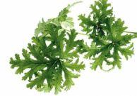 Nalewka z geranium na wzmocnienie nerwów