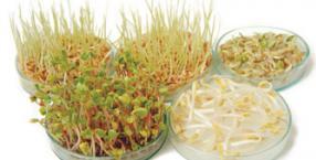 kiełki, rośliny strączkowe, domowa uprawa kiełków, hodowla kiełków