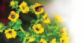 rośliny miłości, zioła, ruta