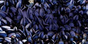 omułek jadalny, Mytilus edulis, Morze Bałtyckie, skorupiaki, małże, omułki,owoce morze