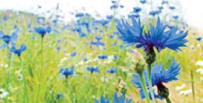 sałatka, chaber, kwiaty, jadalne kwiaty, chabrowa lemoniada, Łukasz Łuczaj