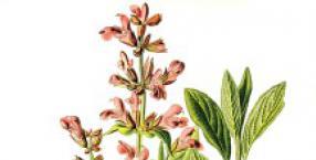 rośliny, zioła, szałwia, nadprzyrodzone moce
