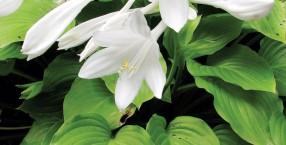 zioła, Łukasz Łuczaj, funkia, permakultura, ogród, Japonia