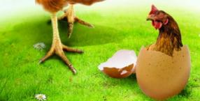 magiczna kuchnia, jajko, drób