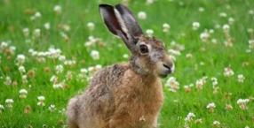 zwierzęta, Wielkanoc, symbole, dzikie zwierzęta, Zając