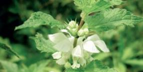 zioła, ziołolecznictwo, pokrzywa