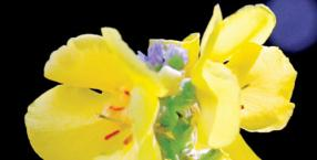 rośliny, uroda, zdrowie, zioła, dzikie rośliny, Noc Kupały, dziewanna