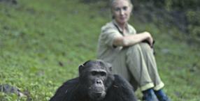 Jane Goodall, Afryka, małpy, kobieta w dżungli, dżungla, dzikie zwierzęta, natura, szympans