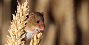 Myszy wypatrują wiosny