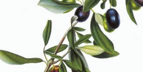 Oliwa z oliwek - dar bogów