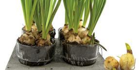 kwiaty jadalne, cebula, cebule roślin, cebulki jadalne, niezwykła kuchnia