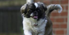 zwierzęta, pies, psy, koty, pekińczyk, dom, adopcja zwietząt, schronisko
