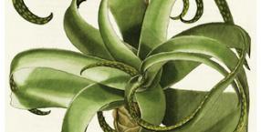 Aloes koi, pobudza i chroni