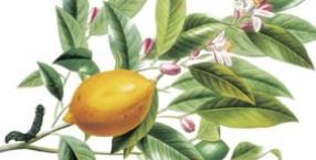 cytrusy, przeziębienie, cytryna, ekologia, ekowybór, naturalne metody, rośliny lecznicze, limonka