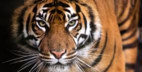 życie, Paulo Coelho, czas, mądrość, Tygrys, Pierre-Auguste Renoir