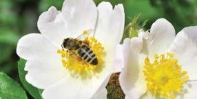 Język symboli: pszczoła