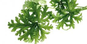 Nalewka z geranium na wzmocnienie zdrowia i nerwów