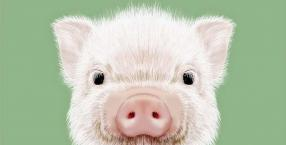 Dorota Sumińska,zwierzęta,felieton,świnie,świnka,świat zwierząt