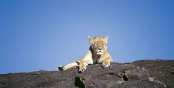 Lwy na drodze
