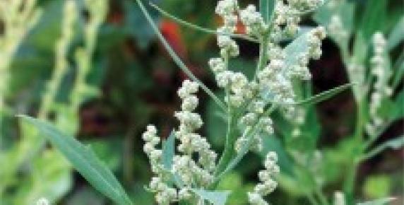 Lebiodka - krewniaczka majeranku
