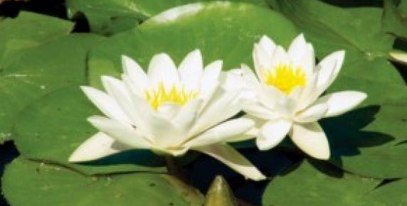 Wodne lilije