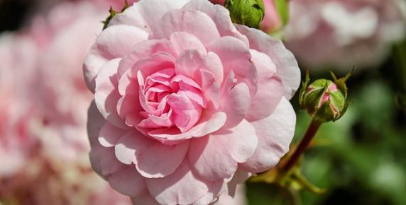 Róże na święto jasności