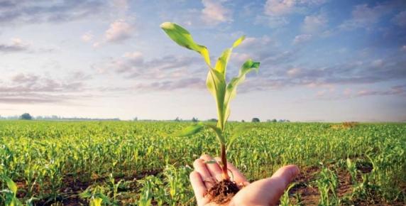 Sadzonki kukurydzy za pomocą piszczenia komunikują się z zielonymi krewnymi
