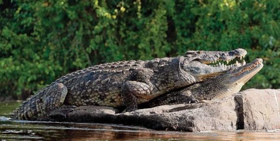 Podczas kopulacji krokodyl chwyta samicę za gardło i ją poddusza