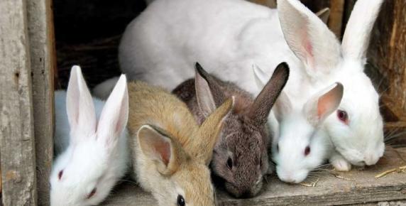 Kochajmy króliki!