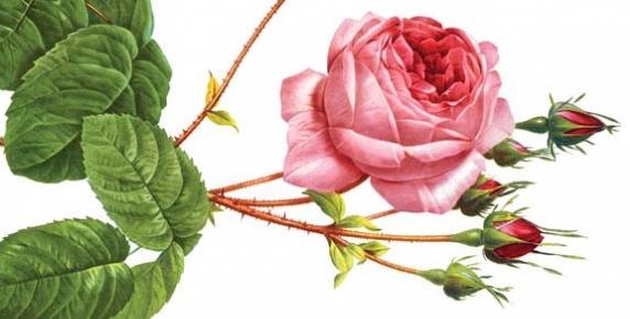 Róża: symbol miłości i piękna
