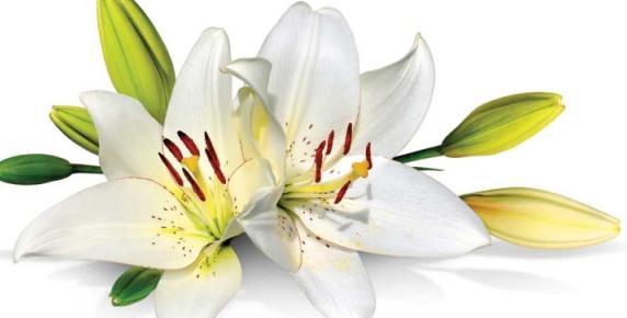 Lilie nie tylko dla świętych